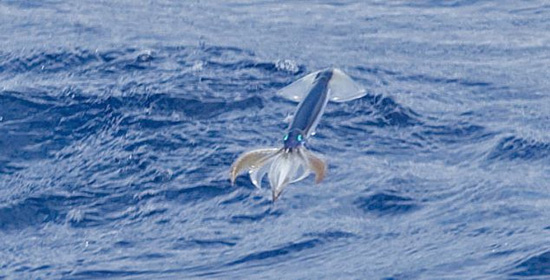 Кальмары могут путешествовать по воздуху