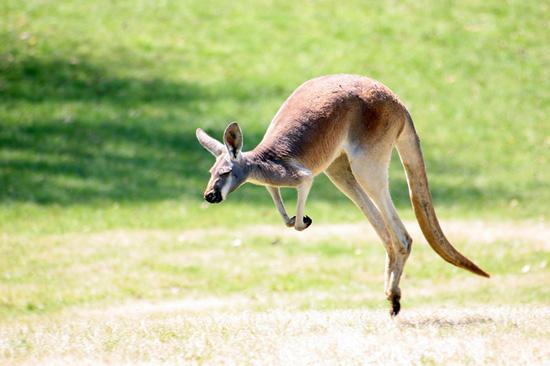 Кенгуру не могут прыгать назад
