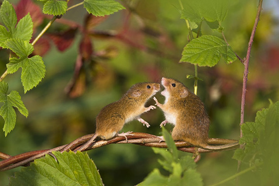 Самцы мышей поют для самок