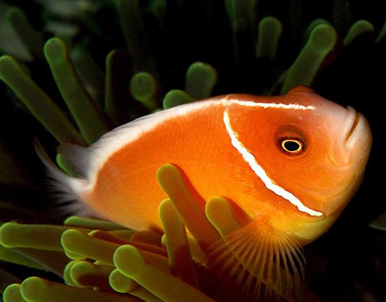 Самки рыбы-клоуна могут превращаться в самцов