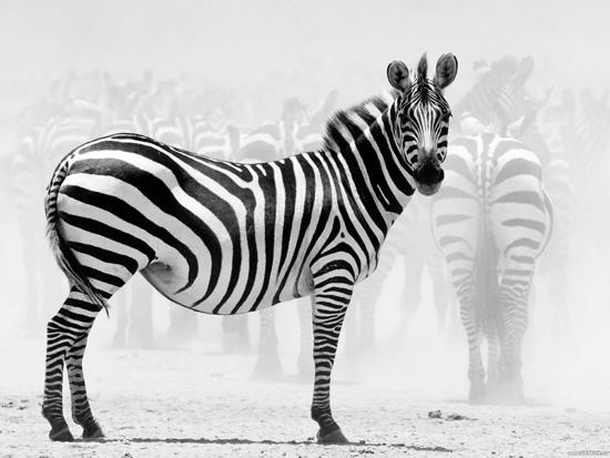 Зебры полосатые для того, чтобы отпугивать слепней