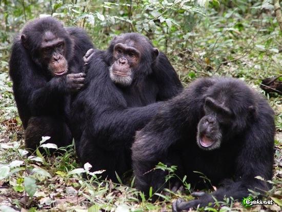 10 фактов о сходствах и различиях между человеком и шимпанз