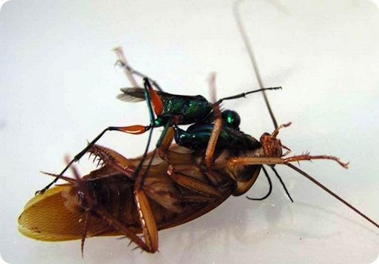Изумрудная оса зомбирует тараканов