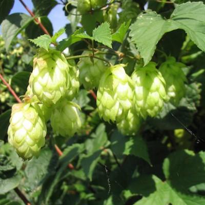 Пивной хмель относится к тому же семейству растений, что и марихуана
