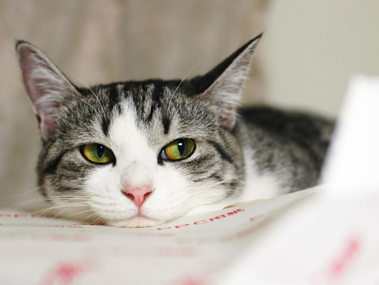 Кошки равнодушны к сладкому потому что не способны отличить сладкий вкус
