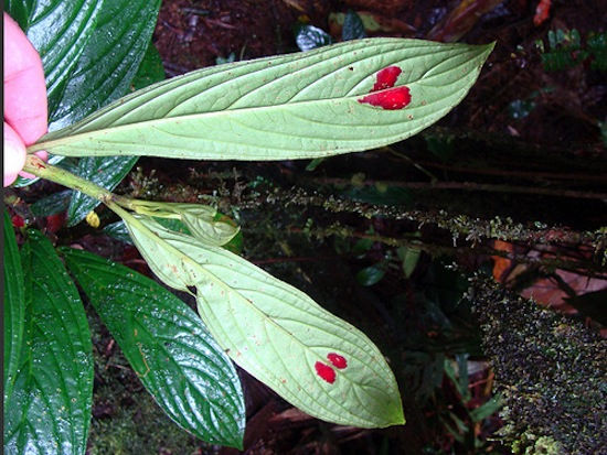 У растения Columnea consanguinea на листьях есть ярко-красные «сердечки»