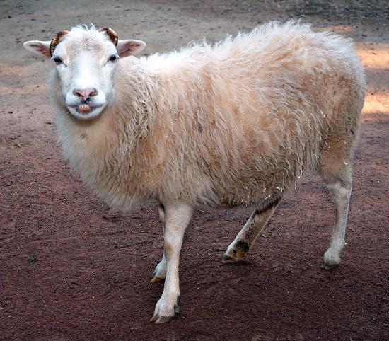 Овцы покрыты жиропотом