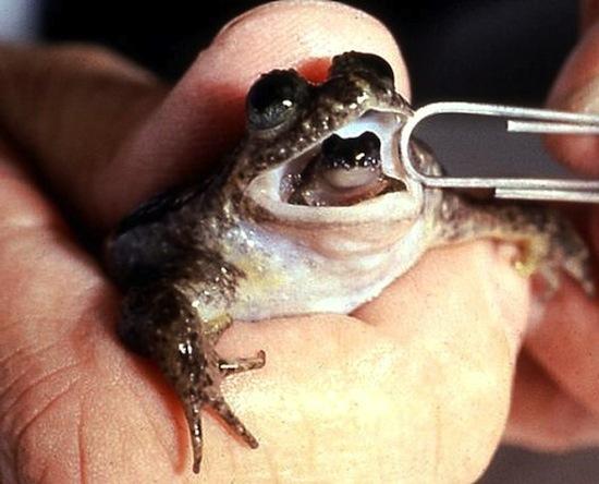 Заботливая лягушка рожает ртом