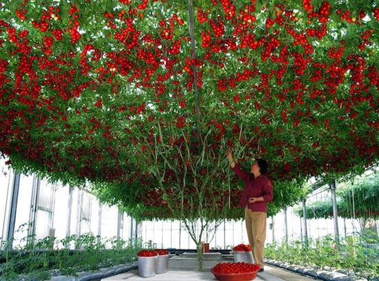 Существует томатное дерево