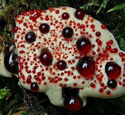 Существует «кровоточащий» гриб