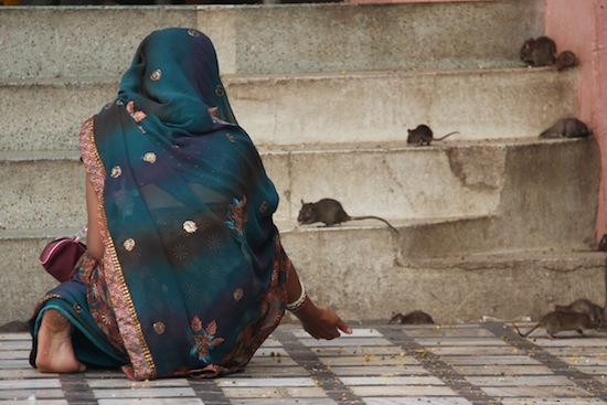 В Индии есть Храм крыс