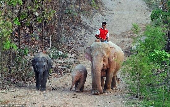 Существуют розовые слоны