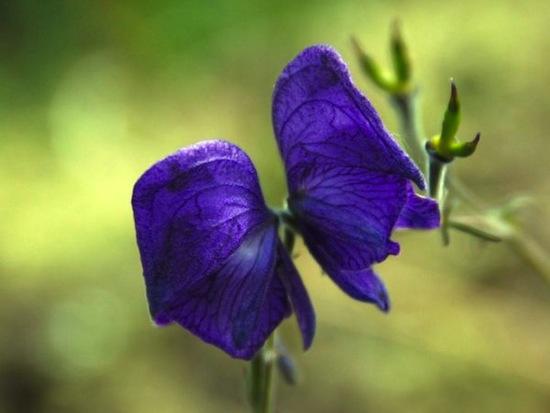 Крошечный синий цветок способен убить горбатого кита
