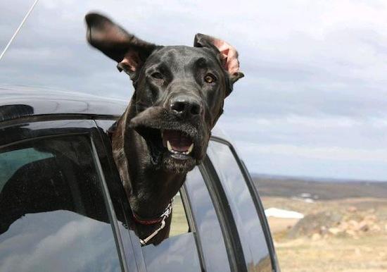 Собаки высовывают голову в окно автомобиля при движении из-за запахов