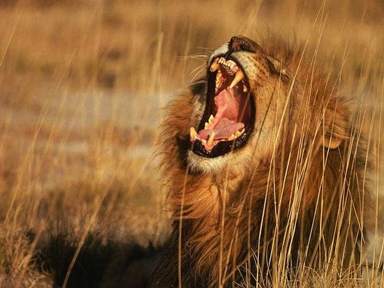 Рёв льва можно услышать на расстоянии 8 км