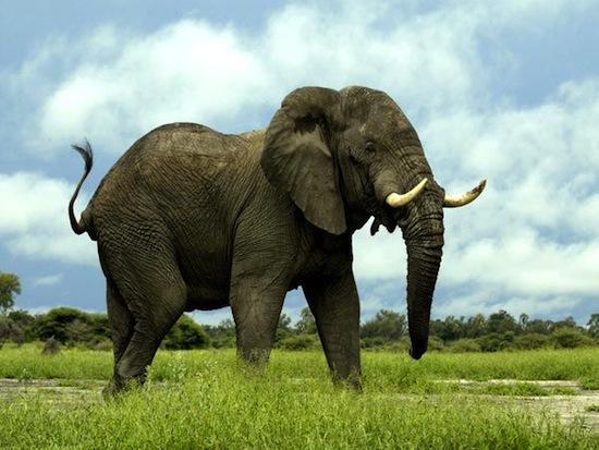 Занятие сексом у слонов
