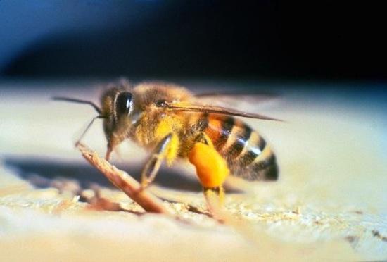 Тайские пчёлы любят питаться человеческими слезами