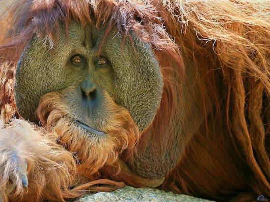 Орангутаны на Суматре способны задерживать собственное половое созревание на 10 лет