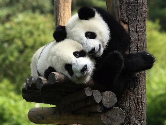 Панды плохо приспособлены для размножения