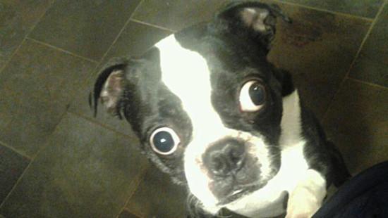 Бостон-терьер по кличке Бруски - собака с самыми большими глазами