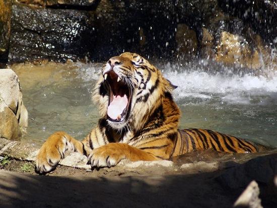 В отличие от большинства кошек, тигры любят воду