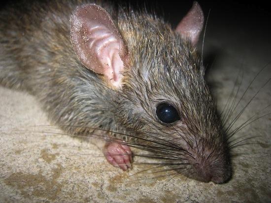 5 леденящих душу фактов про обычных крыс