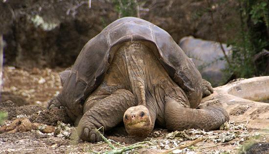 Умер Одинокий Джордж: человечество истребило ещё один подвид животных