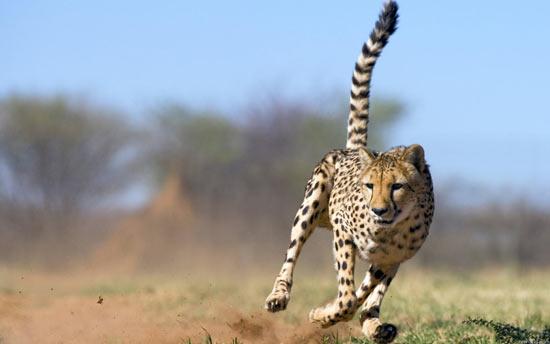 При быстром беге гепарды делают 4 шага в секунду