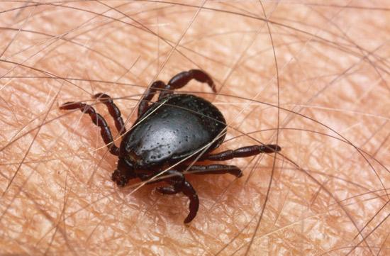 7 важных фактов о клещевых инфекциях