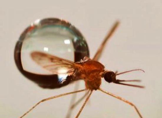 Капля дождя не убивает комара потому что он умеет с ней «сливаться»