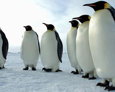 Пингвины склонны к некрофилии, педофилии, изнасилованиям и убийствам
