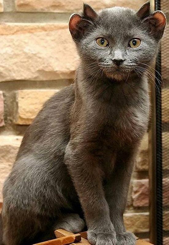 В Англии живёт четвероухий кот