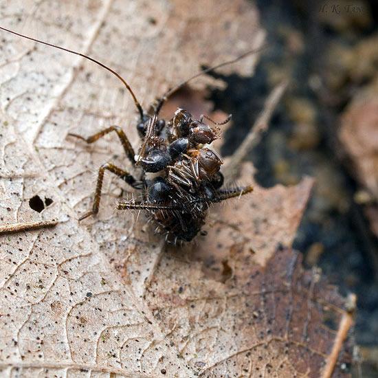 Малазийский жук-убийца использует трупы насекомых в качестве брони