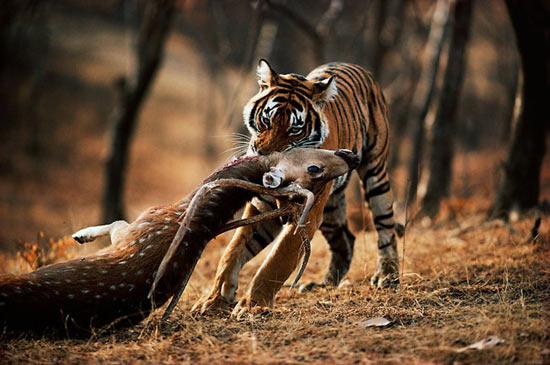 Если подерутся лев и тигр, победит тигр
