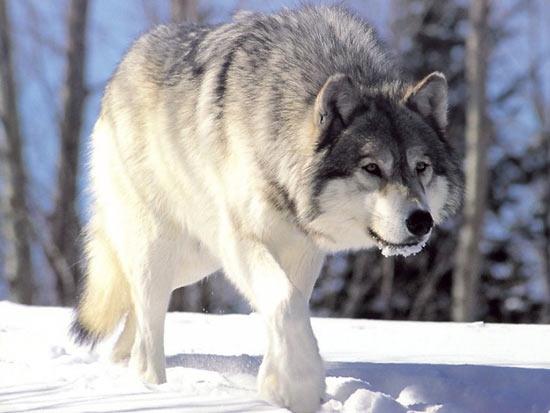 10 фактов о волках