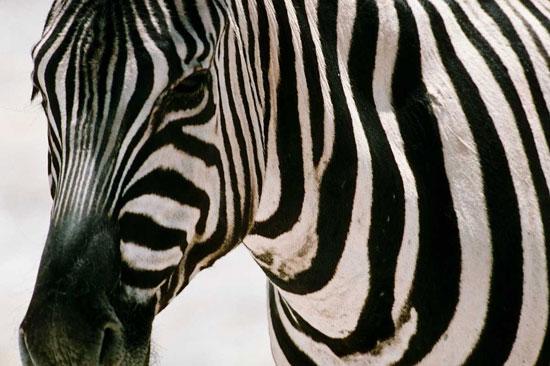 Зебры — чёрные с белыми полосками