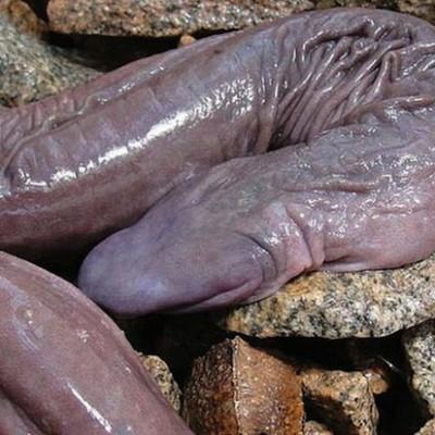 В Бразилии водится «змея-пенис», которая на самом деле является лягушкой