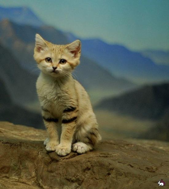 Существует порода кошек, живущих только в пустынях