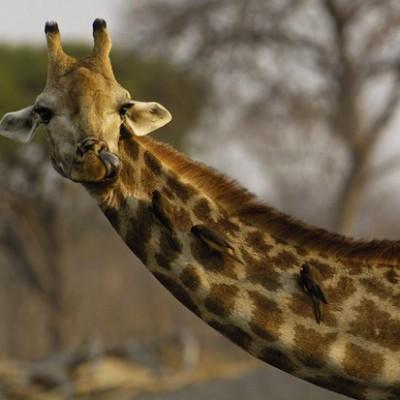 Перед спариванием самка жирафа должна помочиться в рот самца