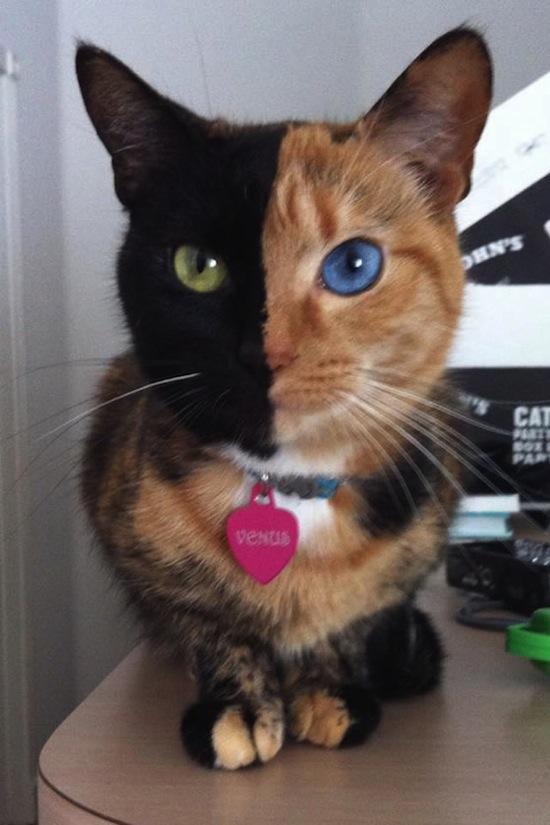 Кошка Венера является химерой