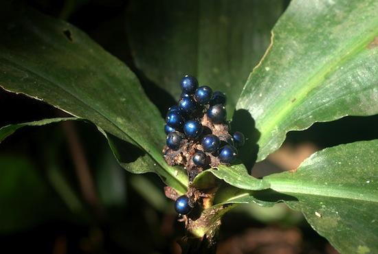 Африканский фрукт Pollia condensata имеет самый яркий цвет в природе, но при этом у него нет пигмента