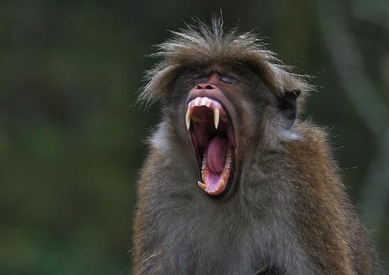 Анонизм и гомосексуализм у обезьян в дикой природе видео