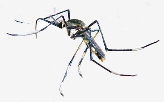 Существует «хороший» комар
