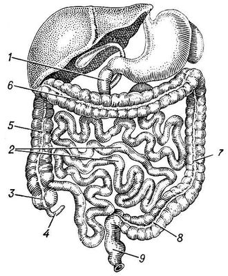 В вашем кишечнике есть «второй мозг»
