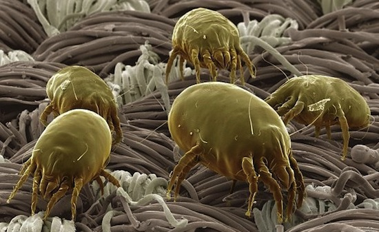 Пыль состоит из клещей