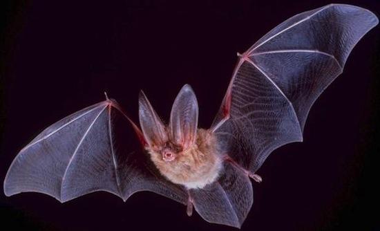 Летучие мыши «видят» нашу кровеносную систему