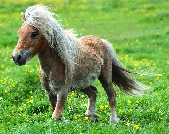 Термин «лошадиная сила» был образован не от силы лошади, а от силы пони