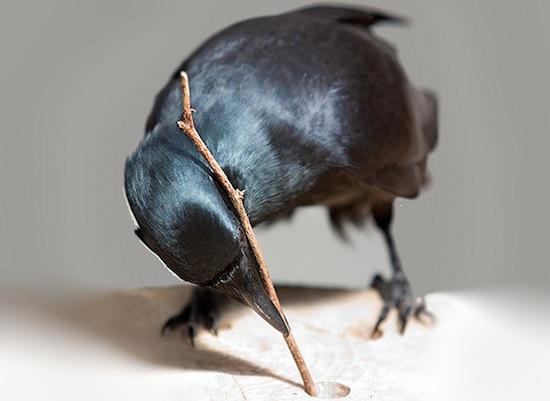 Вороны — единственный, кроме человека, вид животных, способный устанавливать причинно-следственные связи