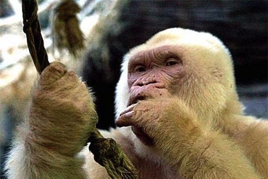 Снежок — единственная известная науке горилла-альбинос