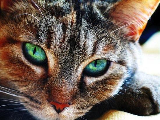 Кошки не могут видеть красный цвет, но способны различать 25 оттенков серого